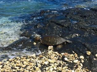 Four Seasons Hualalai Turtles at Beach